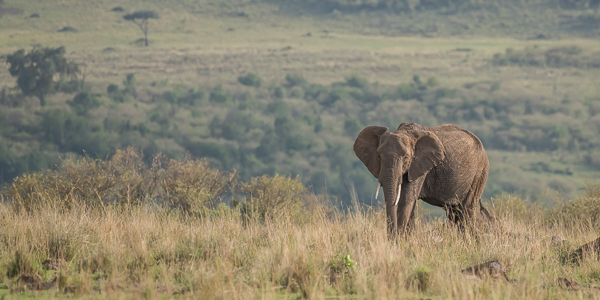 A solitary large elephant in the wide expanse of the Masai Mara National Reserve