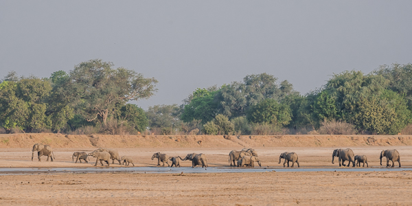 Elephants in the rapidly drying out Luangwa River bed