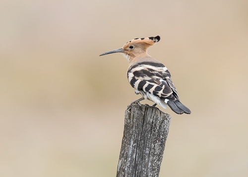 Eurasian Hoopoe ~ Magasca Plains