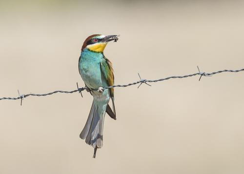 European Bee-eater ~ Alcollarín Reservoir