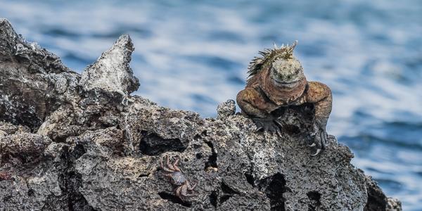 Marine Iguana - Punta Moreno, Isabela Island, Galapagos