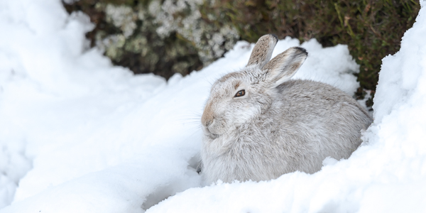 Mountain Hare hunkered down in the snow - Findhorn Valley, Highlands, Scotland