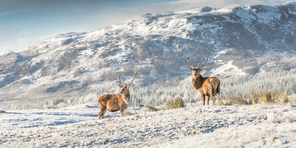 Red Deer - Corrieyairack Pass, Highlands, Scotland