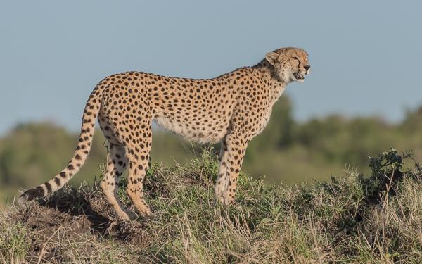 Malaika the famous female cheetah - Masai Mara, Kenya
