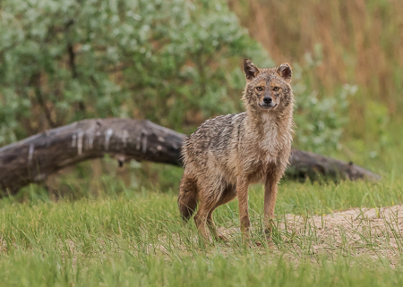 Golden Jackal ~ Ultima Frontiera