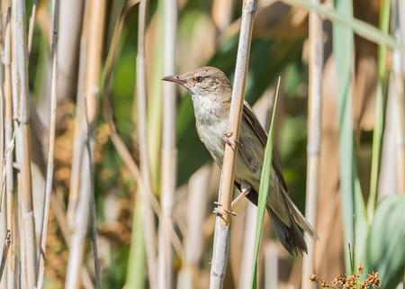 Great Reed Warbler ~ S'Albufera