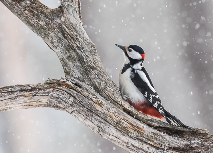 Great Spotted Woodpecker - Oulanka National Park