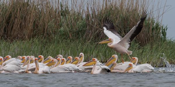 Great White Pelicans ~ Lake Merhei