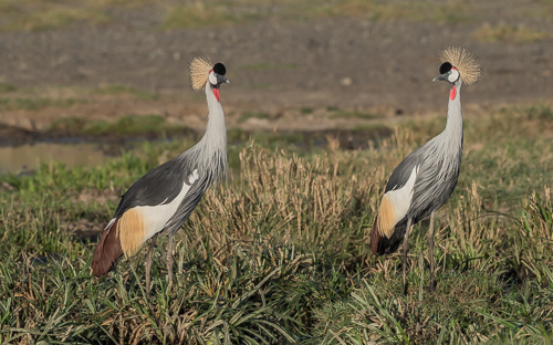 Grey Crowned-Cranes in early morning sunshine (an 'endangered' species)