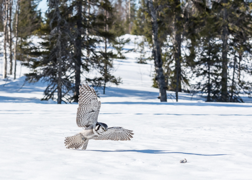 Northern Hawk Owl at Taivalkoski