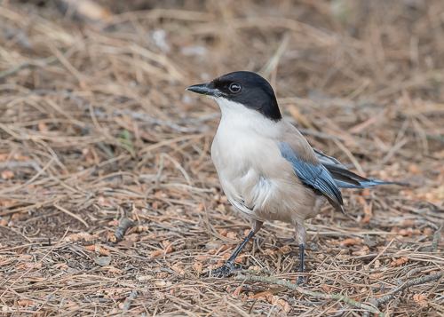 Iberian Azure-winged Magpie ~ Magasca Plains near Monroy