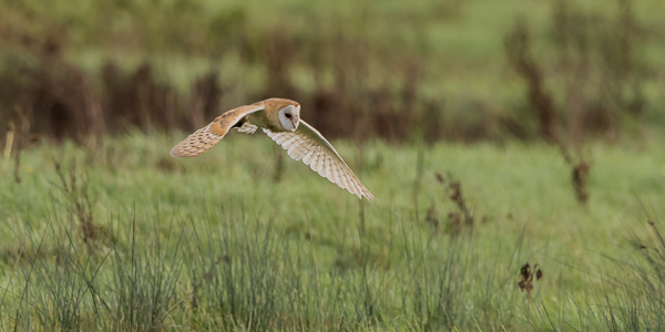 Barn Owl - Langford Lakes, Wiltshire