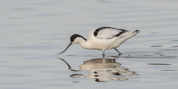 Pied Avocet - Normandy Lagoon, Lymington, Hampshire