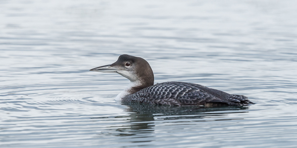 Great Northern Diver - Portland Harbour, Dorset