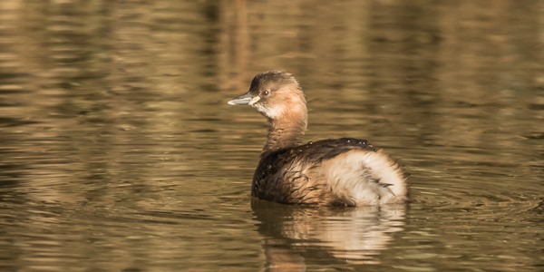 Little Grebe - River Stour, Blandford, Dorset