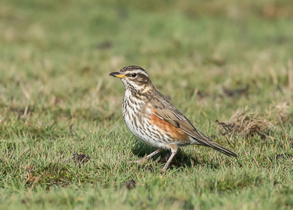 Redwing - Janesmoor Plain, Fritham, New Forest