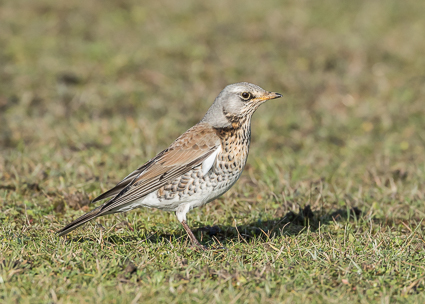 Fieldfare - Janesmoor Plain, Fritham, New Forest