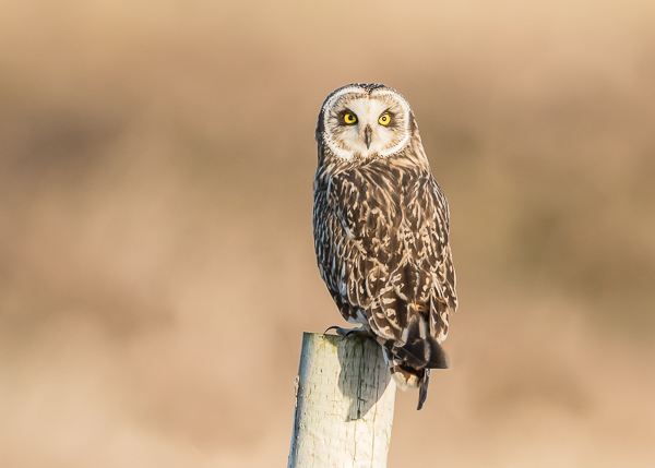 Short-eared Owl - Portland Bill, Dorset