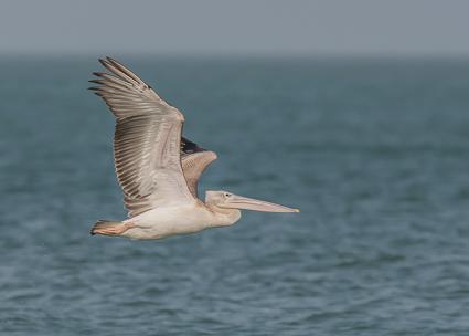 Pink-backed Pelican - Tanji Beach