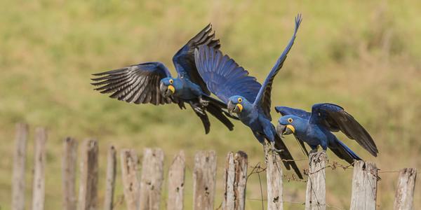 Hyacinth Macaws - Barranco Alto, Southern Pantanal, Brazil
