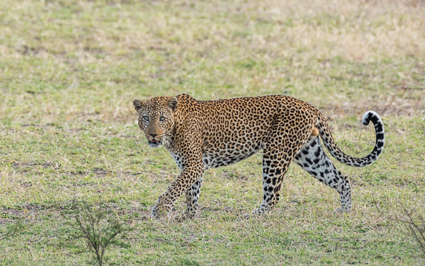 Leopard (male) - Selous Game Reserve, Tanzania