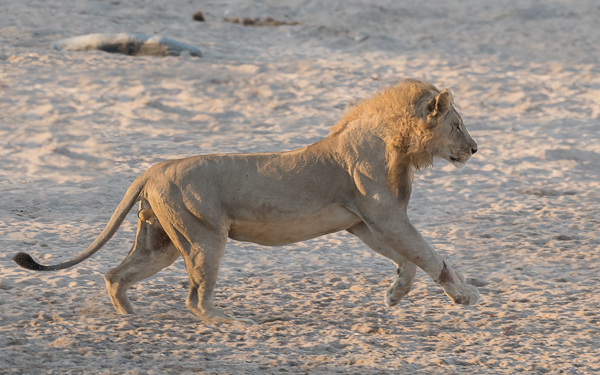 The adult lion runs across the dry riverbed towards one of the subadult males
