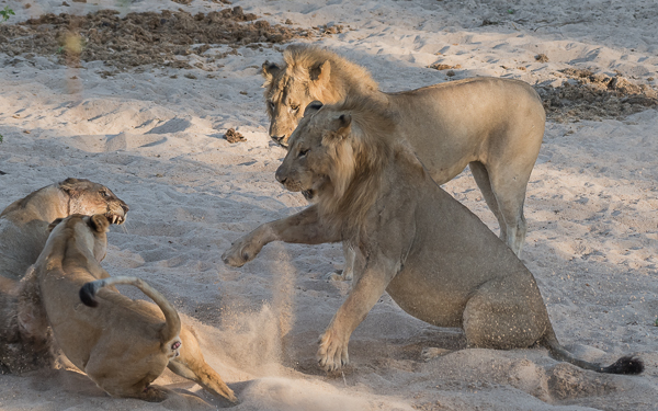 The aggressive male takes a swipe at the adult lioness