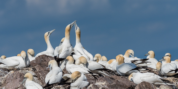 Northern Gannets - Bass Rock, Firth of Fourth, East Lothian, Scotland