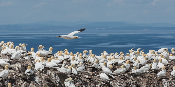 Northern Gannets - Bass Rock