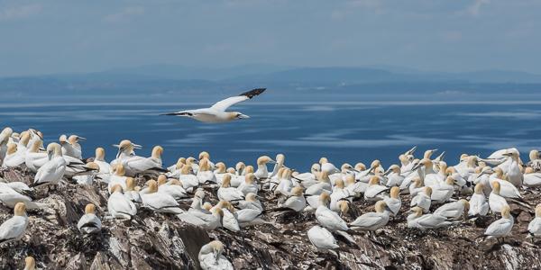 Northern Gannets - Bass Rock