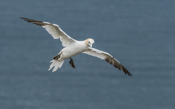 Northern Gannet - Bempton Cliffs, East Yorkshire