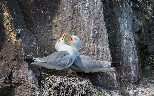 Black-legged Kittiwakes - Dunbar Harbour