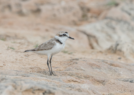 Kentish Plover ~ Son Real, Alcudia Bay