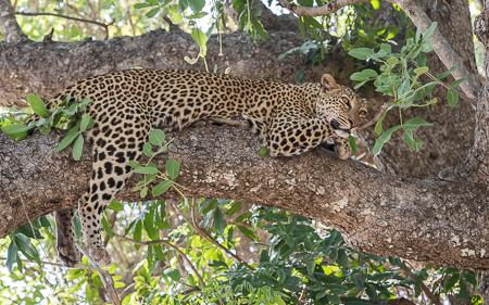 The beautiful female leopard Maliaka