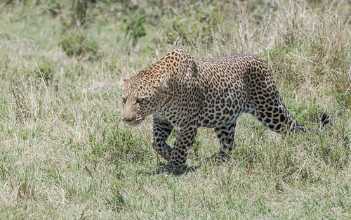 A large, well-fed male leopard