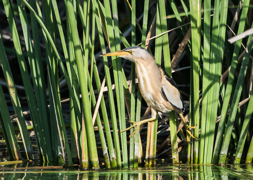 Little Bittern ~ Arrocampo Wetlands
