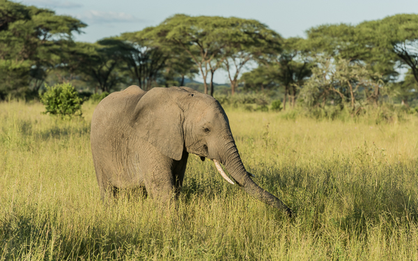 Elephant enjoying the lush fresh grass - Ruaha National Park, Tanzania