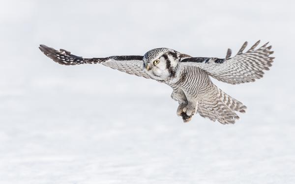 Hawk Owl - Taivalkoski, Northern Ostrobothnia, Finland