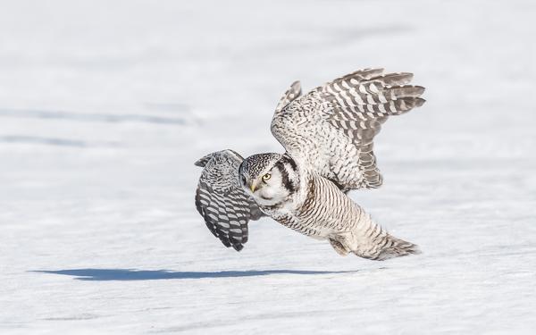 Northern Hawk Owl - Taivalkoski - Kuusamo, Finland