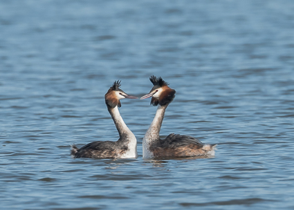Great Crested Grebes - Radipole Lake, Weymouth, Dorset