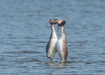 Great Crested Grebes - Radipole Lake, Weymouth, Dorseti