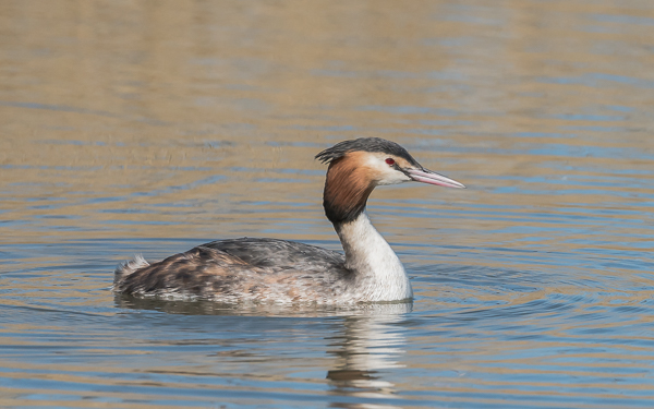 Great Crested Grebe - Radipole Lake, Weymouth, Dorset