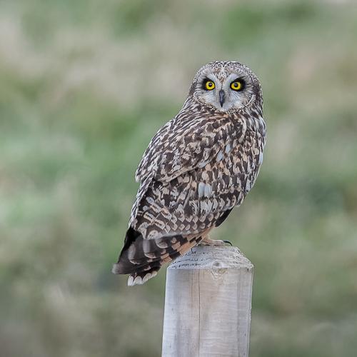 Short-eared Owl - Portland