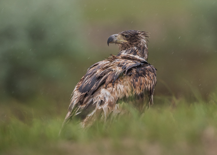 White-tailed Eagle - Ultima Frontiera, Danube Delta