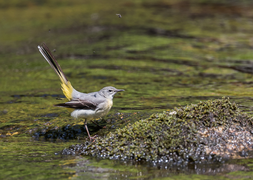 Grey Wagtail - River Dart, Dartmoor