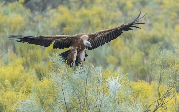 Griffon Vulture - Torrejón El Rubio / Monfrague, Extremadura
