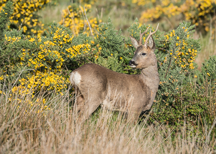 Roe Deer (male) - Pennington Marsh, Keyhaven, Hampshire