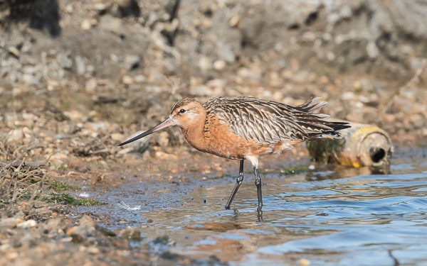 Bar-tailed Godwit (male) - Pennington Lagoon, Keyhaven, Hampshire