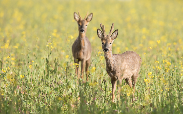 Roe Deer (male) - Martin Down, Hampshire