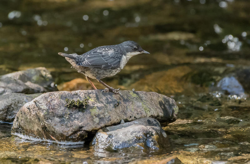 European Dipper (immature) - River Ba, Isle of Mull